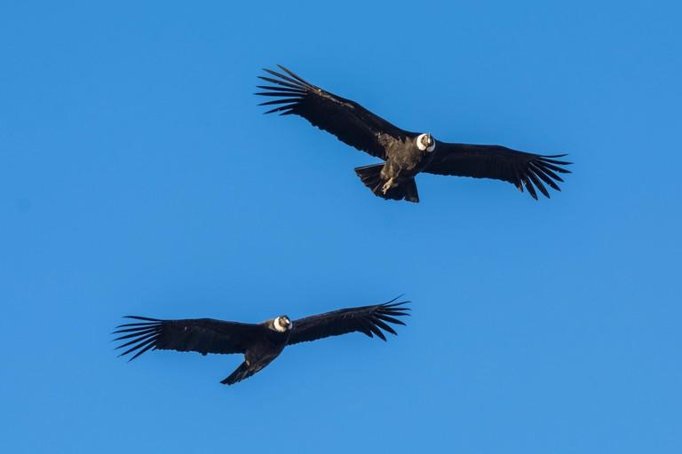 Andean condors (Vultur gryphus) in flight, Torres del Paine National Park, Chile