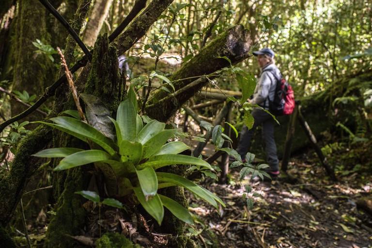 2BYGX8A Bromeliad, Werauhia ororiensis, Bromeliaceae, Barva Volcano, Braulio Carrillo National Park, Costa Rica, Centroamerica