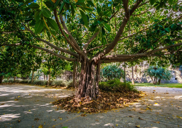 2C3GKT6 Valencia Banyan Tree, Ficus benghalensis Park at riverbed, River Turia gardens, leisure sport area Spain Europe