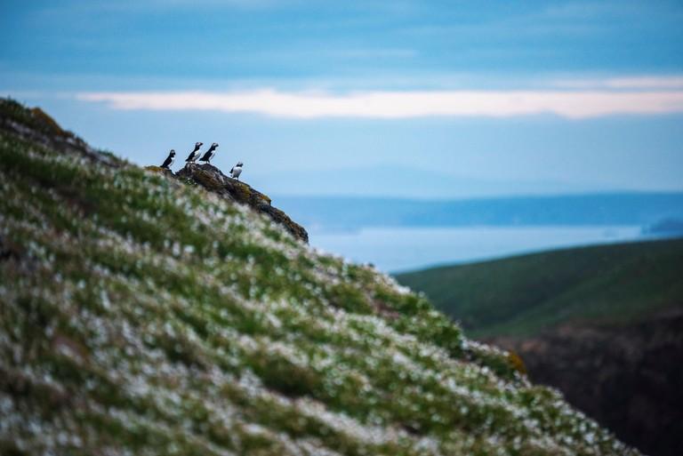 Puffins on Skomer Island, Pembrokeshire Coast National Park, Wales, United Kingdom