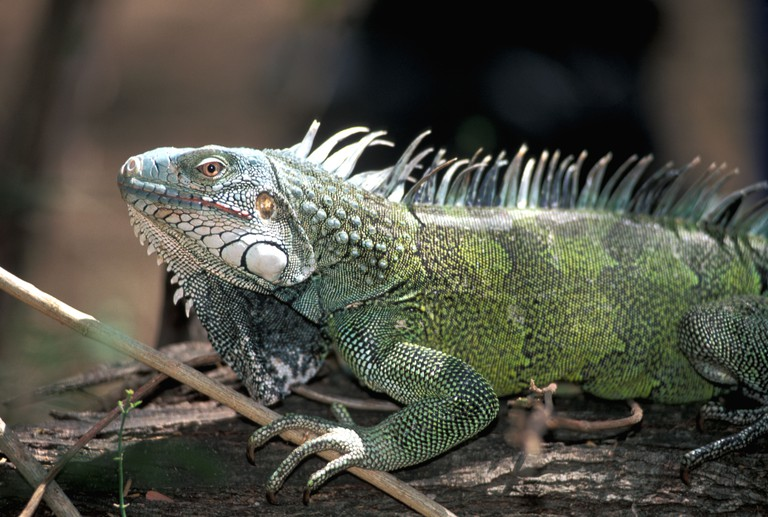 Aruba Green Iguana Arikok National Park