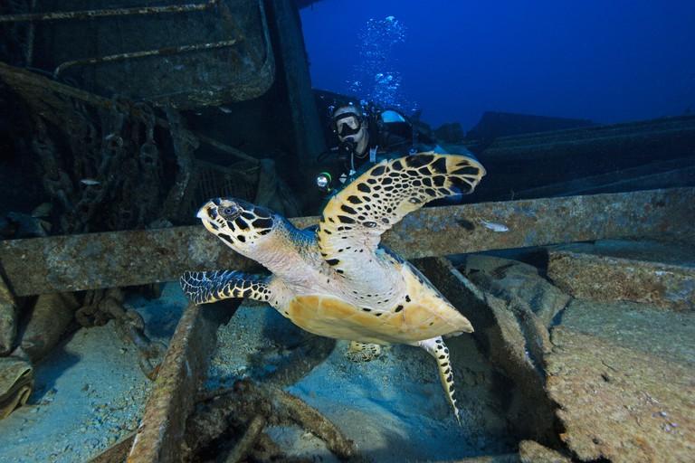 scuba diver with Hawksbill Turtle at a shipwreck