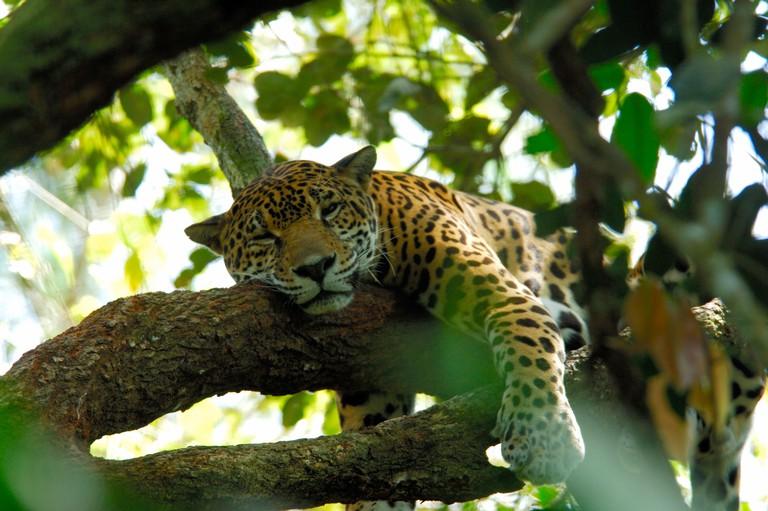 Central America, Belize, Belize City, Belize Zoo. Jaguar
