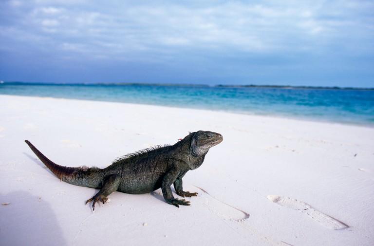 Rock iguana on Little Water Cay, Turks & Caicos Islands.