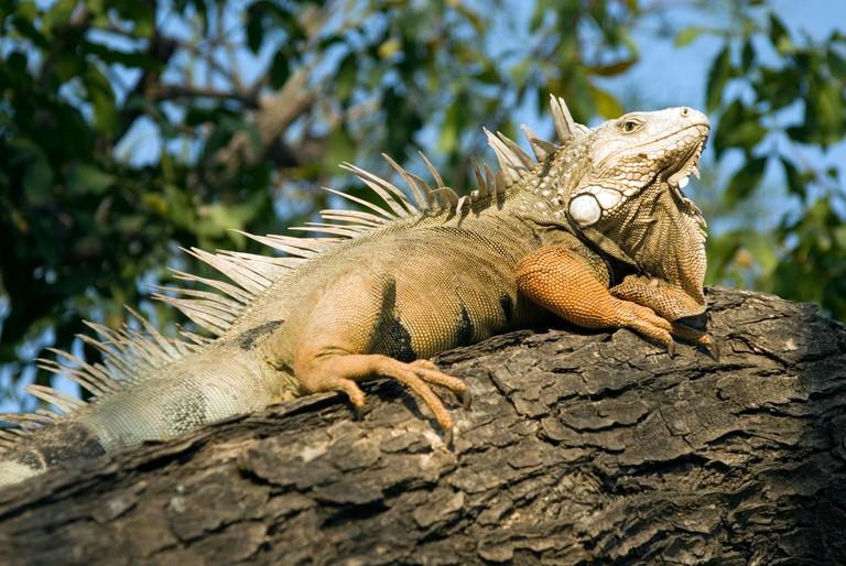 B00XKE An iguana in the Parque del Centenario, Cartagena de Indias, Colombia