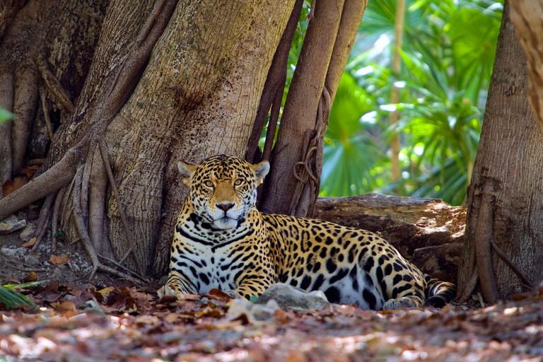 Mexico, Quintana Roo, Tulum, Xcaret nature park, Jaguar. Panthera Onca.