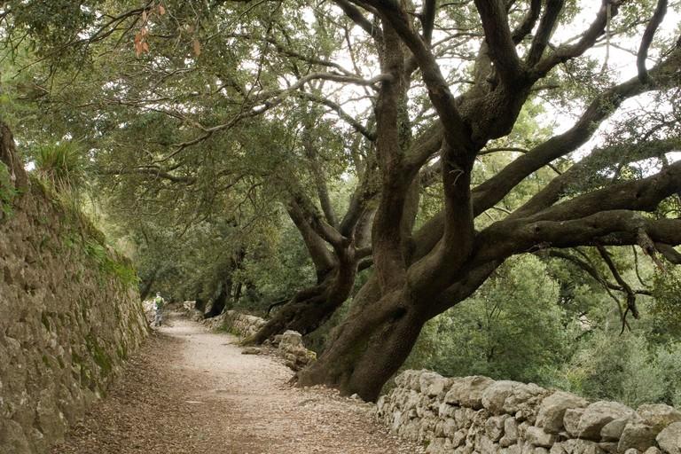 BKNX6D Gorgeous hundred-year-old holm oaks at the Sa Bataia Pass (Majorca-Spain). Superbes chenes-verts au col de Sa Bataia (Majorque).