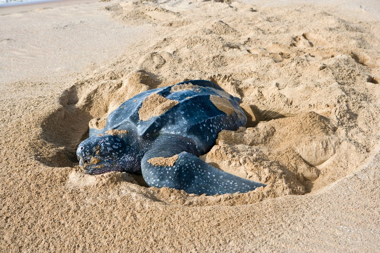 C42GET Suriname, Matapica National Park. Leatherback turtle closing nest after laying eggs. (Dermochelys coriacea)