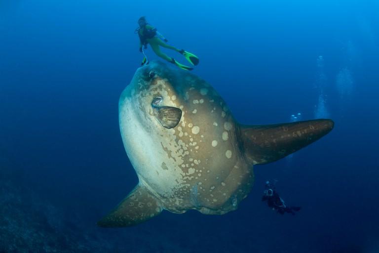 Scuba diver with Ocean Sunfish, Crystal Bay, Nusa Penida, Bali Island, Indonesia, Pacific Ocean