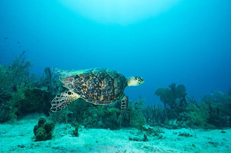 Loggerhead Sea Turtle (Caretta caretta) underwater, Bayahibe, Dominican Republic
