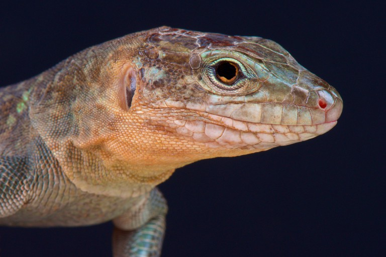 Gran Canaria giant lizard / Gallotia stehlini