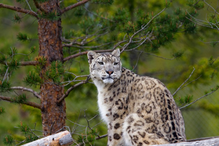 A snow leopard in a Swedish zoo