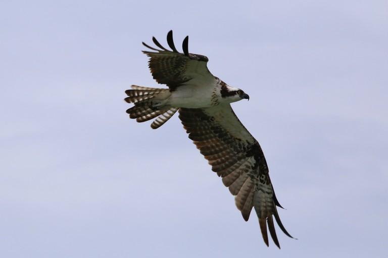 Inflight Osprey bird (Pandion haliaetus) Bonita Beach park, Barefoot Beach State Preserve, Bonita Springs, Florida, USA