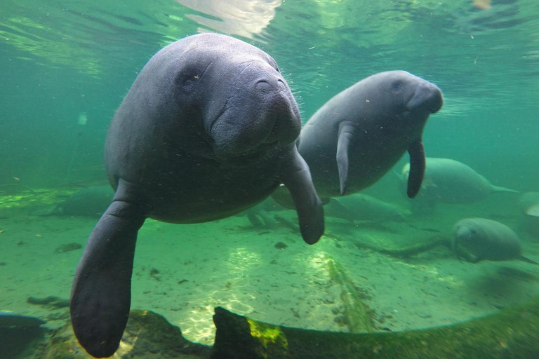 Orange City, USA. 02nd Sep, 2015. Manatees find refuge in the warm waters of Blue Spring located at Blue Spring State Park, Orange City, Fla., in a 2015 file image. Manatees, which recently were moved from the U.S. endangered list to the less dire status