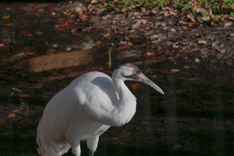 Whooping crane (Grus americana), an endangered species