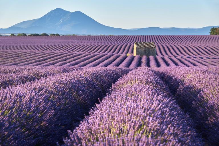 Lavender fields in Plateau de Valensole with stone house in Summer. Alpes de Haute Provence, PACA Region, France