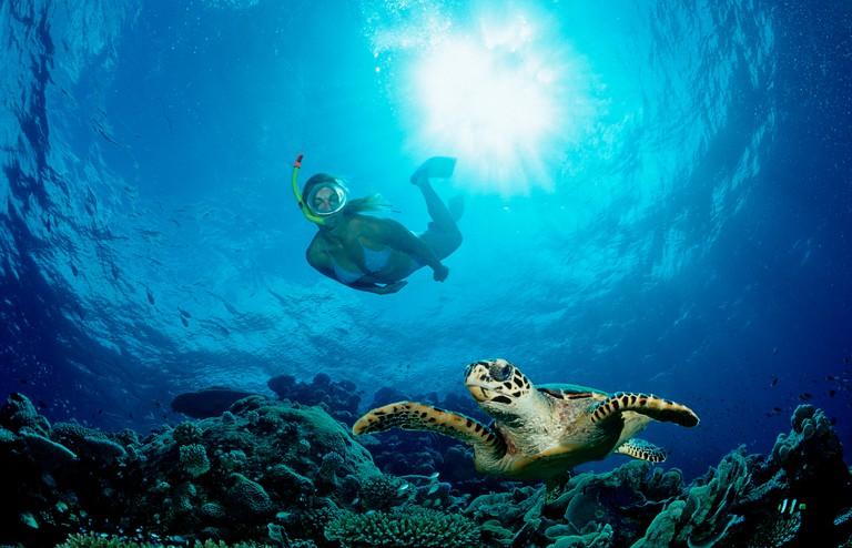 Hawksbill Turtle and Skin Diver, Eretmochelys imbricata, Maldives, Indian Ocean, Meemu Atoll