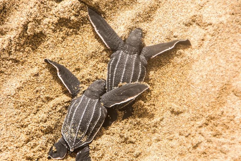 Leatherback turtles hatching, Levera Beach, Grenada Island