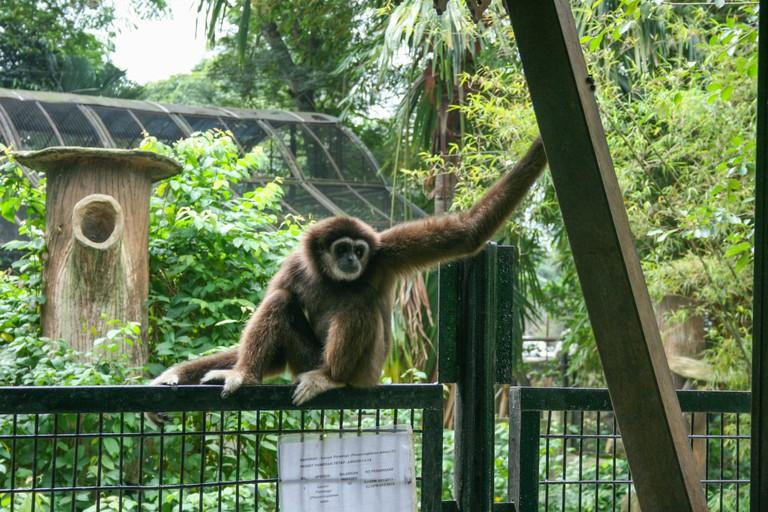 Lar gibbon at Johor Zoo, Johor Bahru, Malaysia