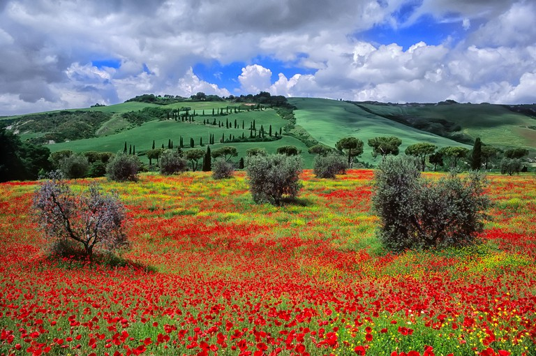 TWHH40 Tuscan landscape, Val d'Orcia, Crete senesi, Olive grove with red poppies. Natural Reserve of Lucciola Bella, Siena, Tuscany, Italy