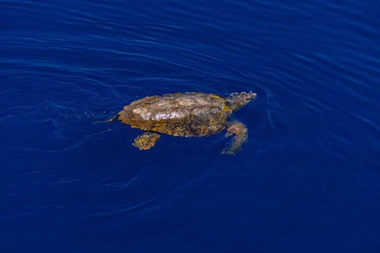 Italy, Sicily, Aeolian Islands, Filicudi, Sea Turtle, Loggerhead Turtle, Caretta caretta