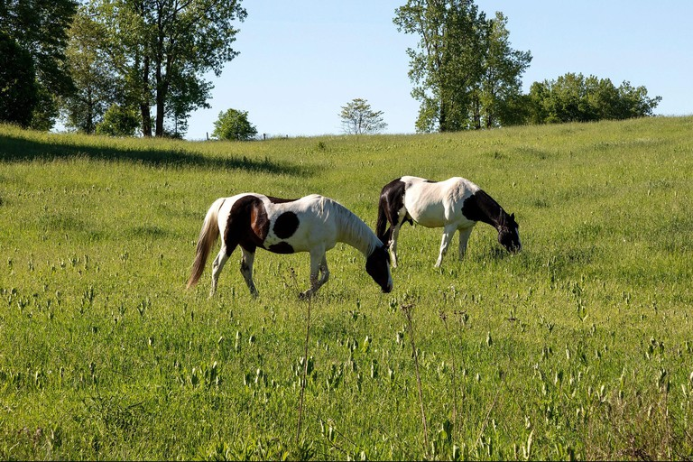 Pair of horses grazing in pasture, Indiana, USA, by James D Coppinger/Dembinsky Photo Assoc