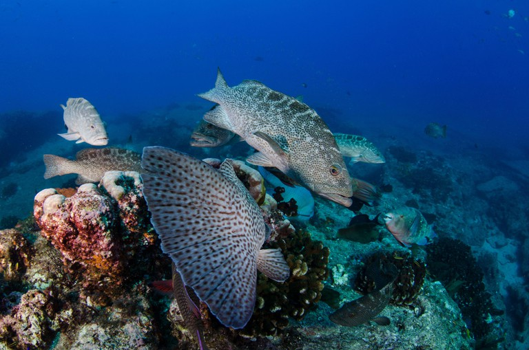 Groupers feeding from the reefs of the Sea of Cortez, Pacific ocean. Cabo Pulmo National Park, Baja California Sur, Mexico.