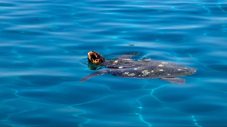 Loggerhead Turtle ( Carreta caretta ) in the sea at Laganas resort, South Zakynthos Island, Zante, Greece, Europe.