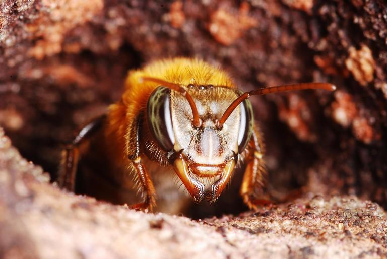DG0D3B Worker of Melipona eburnea in nest entrance