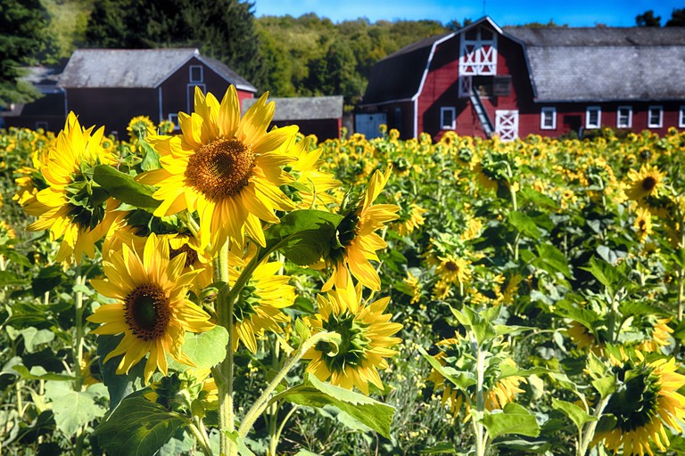 FBB7PG Close Up View of Sunflowers in a Filed with a Red Barn in the Background, Sparta, Sussex County, New Jersey