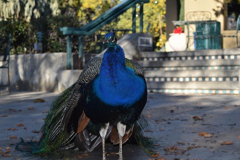 Peacock at Los Angeles County Arboretum and Botanic Garden
