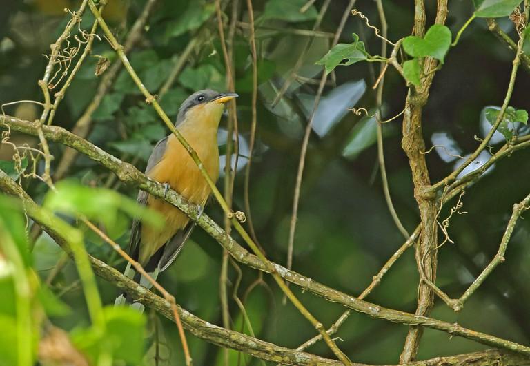 Mangrove Cuckoo (Coccyzus minor) adult perched on vineFond Doux Plantation, St Lucia, Lesser Antilles November