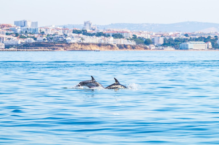Dolphins swimming on the surface, photographed from experience boat on the coast of Albufeira, Algarve Portugal.