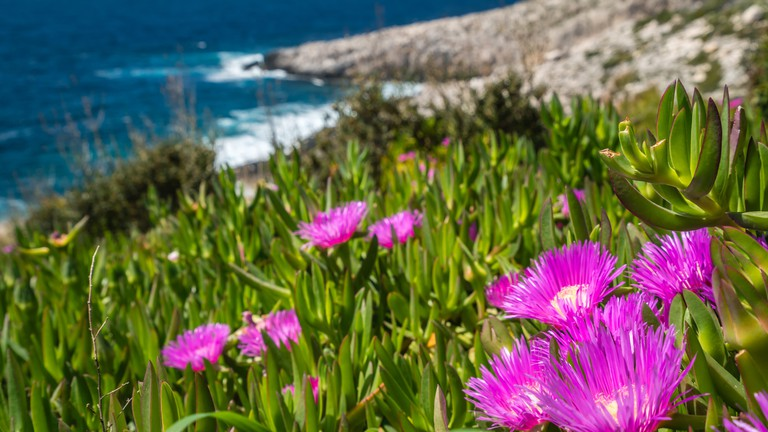 Small pink Carpobrotus chilensis flowres growing on the rocky shore in Porto Limnionas, Zakynthos Zante Island, Greece