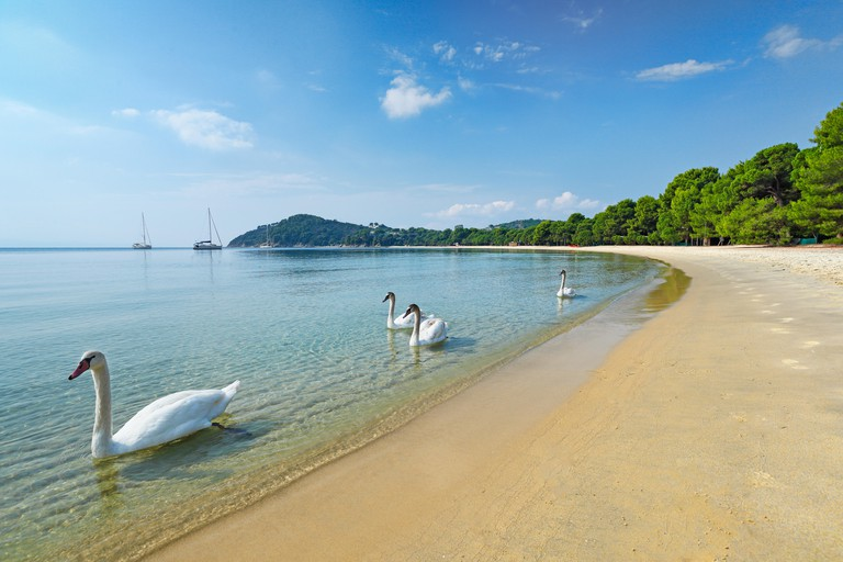 2AB3M7H Swans at the beach Koukounaries of Skiathos island, Greece