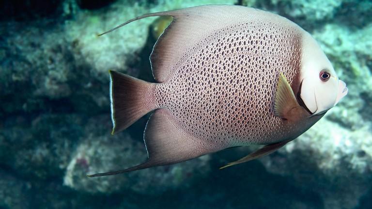 2B5RJXF Gray angelfish (Pomacnathus arcuatus) swimming above a coral reef, Looe Key, Florida Keys National Marine Sanctuary, United States, color