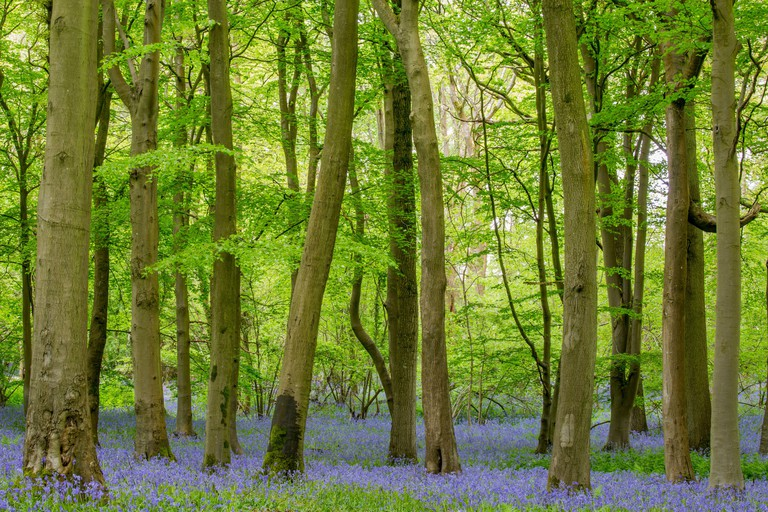 Bluebells (Hyacinthoides non-scripta) and Beech trees (Fagus silvatica) in springtime woodland, Foxholes Nature Reserve, Oxfordshire, UK. May 2015.