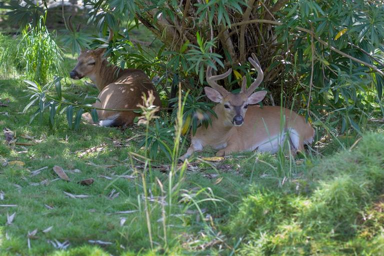 2CB367P Endangered Key deer in the National Key Deer Refuge on Big Pine Key in the Florida Keys. Odocoileus virginianus clavium
