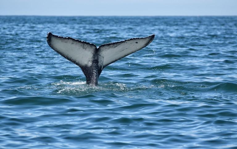 Humpback Whale (Megaptera novaeangliae) Fluke in La Jolla, San Diego, California