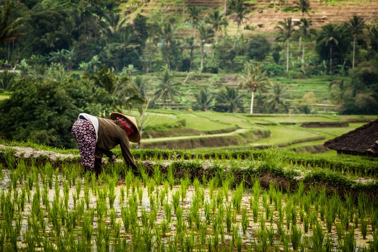 2E02WH8 A rice worker in traditional clothes with straw hat working in rice fields at Jatiluwih Rice Terrace