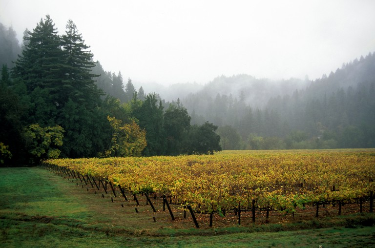 CHAMPAGNE GRAPES grow in the RUSSIAN RIVER area of CALIFORNIA with REDWOOD TREES as a border FORESTVILLE CALIFORNIA