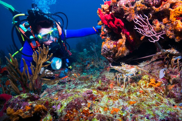AY4PMW Off Boynton Beach, Florida, a diver shines her torch on two Caribbean Spiny Lobsters