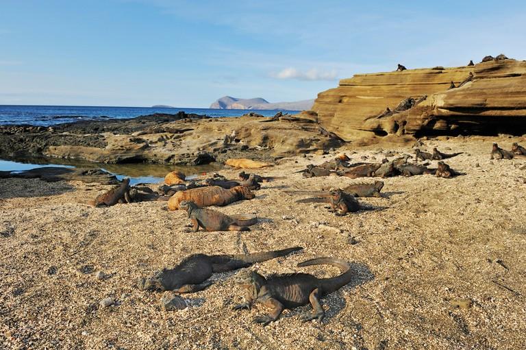 Marine Iguanas (Amblyrhynchus cristatus), group sunning, Puerto Egas Bay, Santiago Island, Galapagos, Ecuador, South America