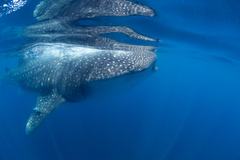 Sideview of a whale shark's head in Holbox, Mexico.