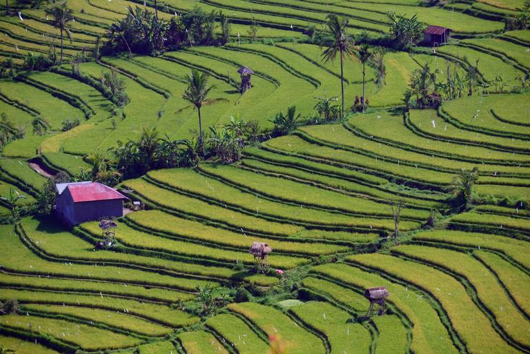 E8J4GW Rice paddies and rice terraces, Munduk, Central Bali, Bali, Indonesia
