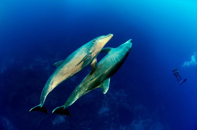 EXX0CW Two bottlenose dolphin, Tursiops truncatus, Socorro Islands, Mexico, America