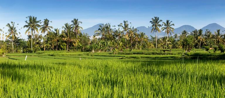 H2BTAM Rice growing, Indonesia, Bali, Payangan, Susut