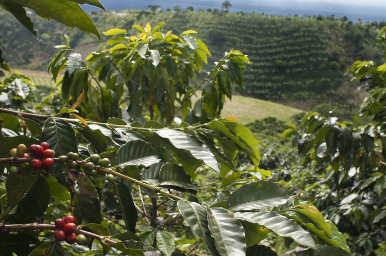 A coffee tree with beans at Finca Victoria in Minca, Colombia