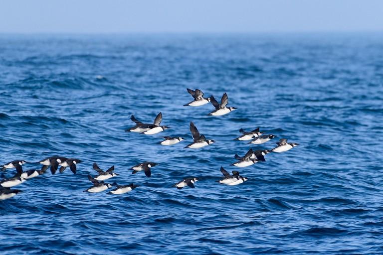 Farallon Island Common Murre flock in flight off the Farallon Islands in the San Francisco Bay area, California, USA.