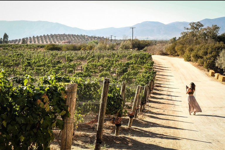 A Woman In A Vineyard In Valle de Guadalupe, Mexico